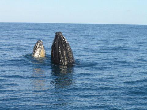 Baleia Jubarte espiando
